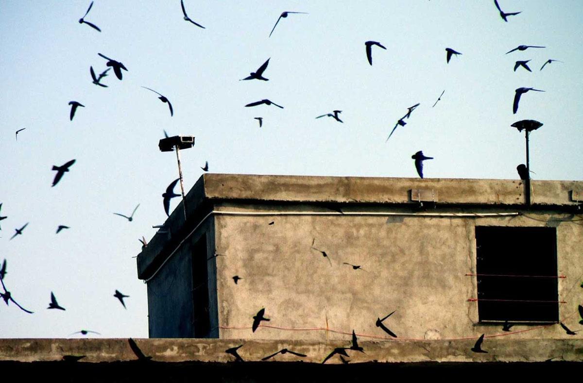 Một số kinh nghiệm dẫn dụ chim yến